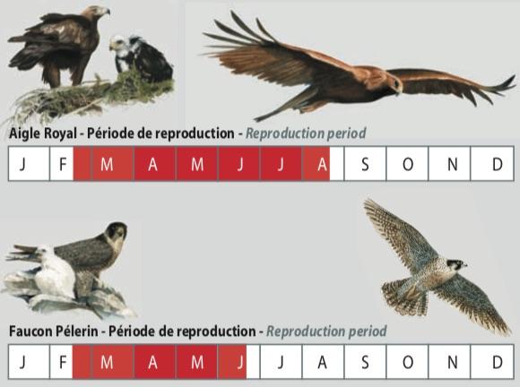 Vol libre Massif des Bauges Aigle royal faucon pélerin